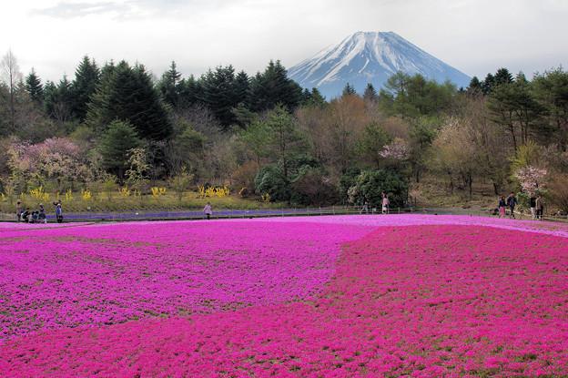 写真: 芝桜富士2
