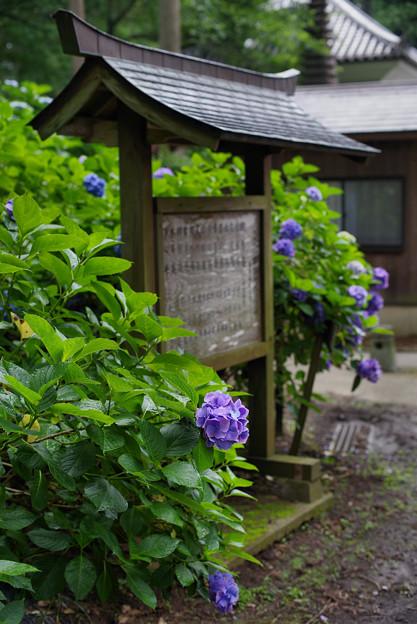 写真: 紫陽花の木碑
