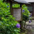 Photos: 紫陽花の木碑
