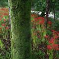 写真: 苔の墓標に集いて