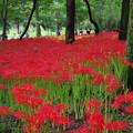 写真: 咲き狂う赤