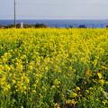 Photos: 菜の花畑/初春の南房総