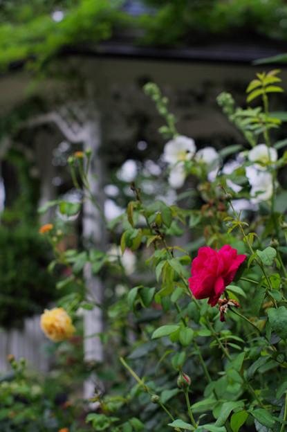 小さな薔薇園