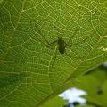 Photos: 葉色の蜘蛛