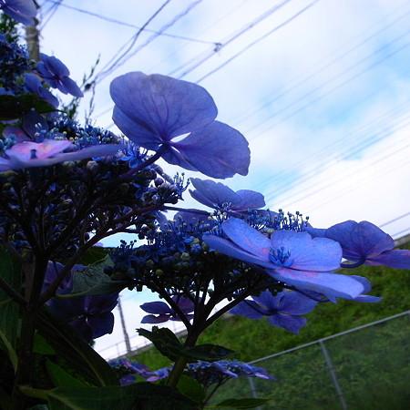 空仰ぐ陽花