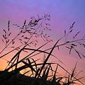 写真: 夕穂の影絵