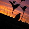 写真: 夕焼け影草