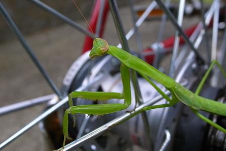 自転車カマキリ・逃