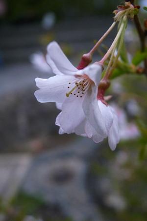 降りる翳花