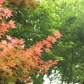 新緑は紅葉