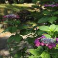 写真: 諏訪神社の紫陽花