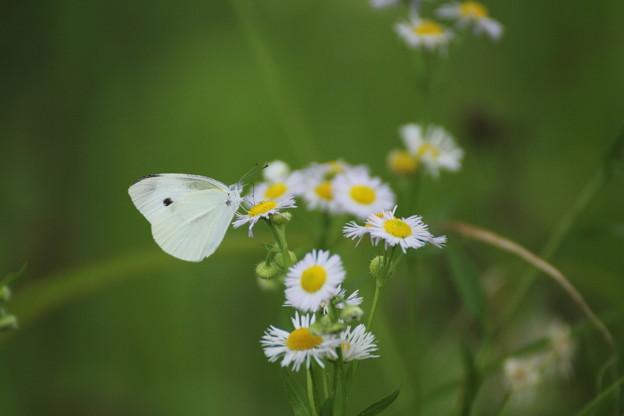 姫女苑と蝶モンシロチョウ