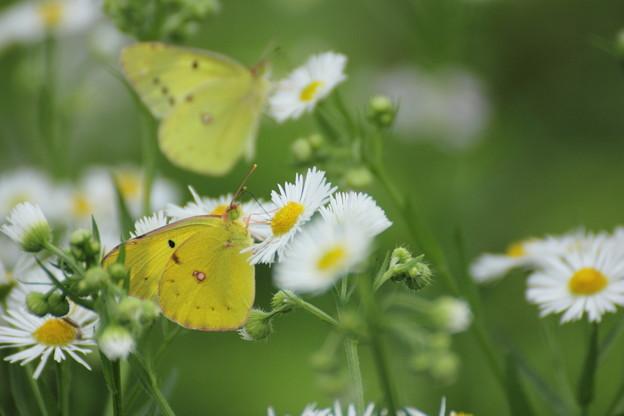 姫女苑と蝶モンキチョウ