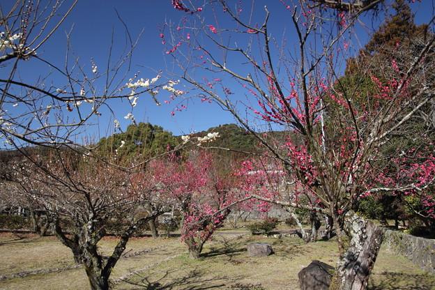 古城梅林園の梅