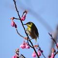 咲き出した寒緋桜にメジロ