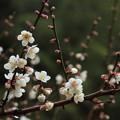 写真: 咲き始めの白梅