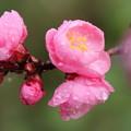 写真: 雨の中の紅梅