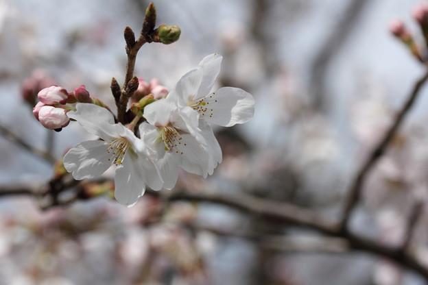 咲き出した桜