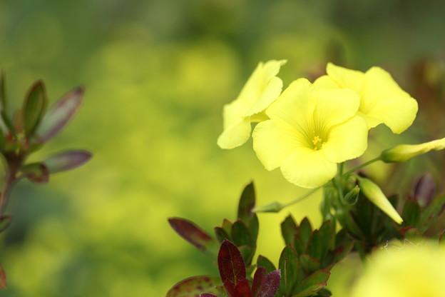 黄色のオギザリスもいい