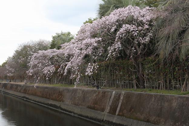 チッソの枝垂桜