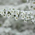 写真: 雪柳 (ゆきやなぎ)・・竹林園
