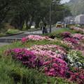 Photos: 水俣川のつつじ・・ここは満開