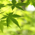 写真: もみじの新緑