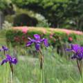 写真: 文目 (あやめ)・・竹林園