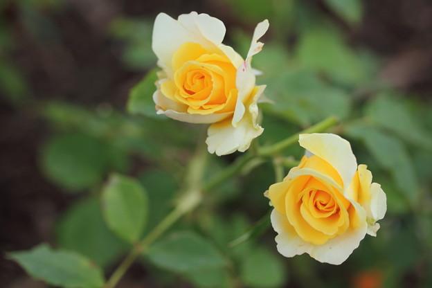 エコパークばら園・・小さい花びら