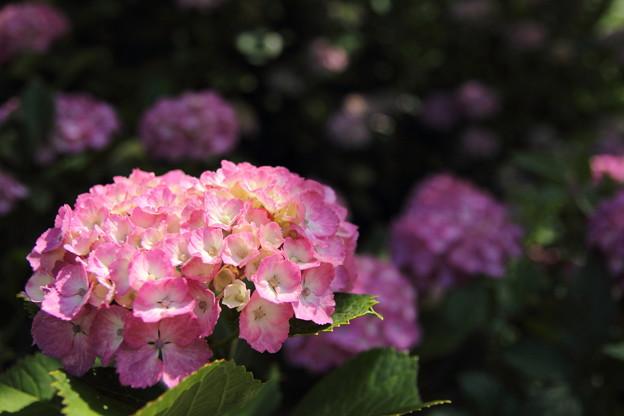 紫陽花も色づく