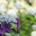 Photos: 諏訪神社の紫陽花・・花がよく咲いてます