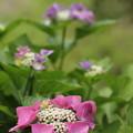 写真: 遊歩道の紫陽花
