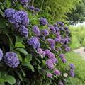 竹林園の紫陽花