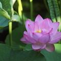 蓮が咲きだす
