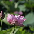 写真: 蓮開花