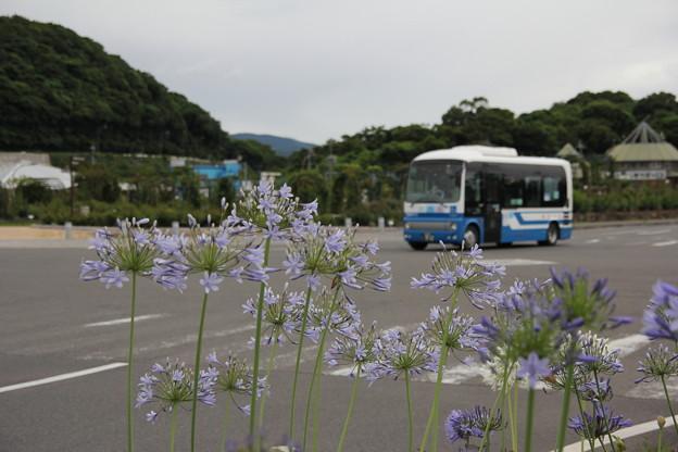 アガパンサス(紫君子蘭(むらさきくんしらん))