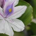 写真: 布袋葵 (ほていあおい)