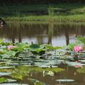 Photos: 蓮池