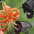 Photos: 鬼百合 (おにゆり)と 蝶