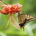 写真: 鬼百合 (おにゆり)と 蝶