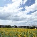 ひまわり畑と夏空・・水俣陣内