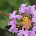 百日紅・・うす紫