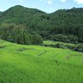 写真: 寒川の棚田・・田んぼの緑がいい