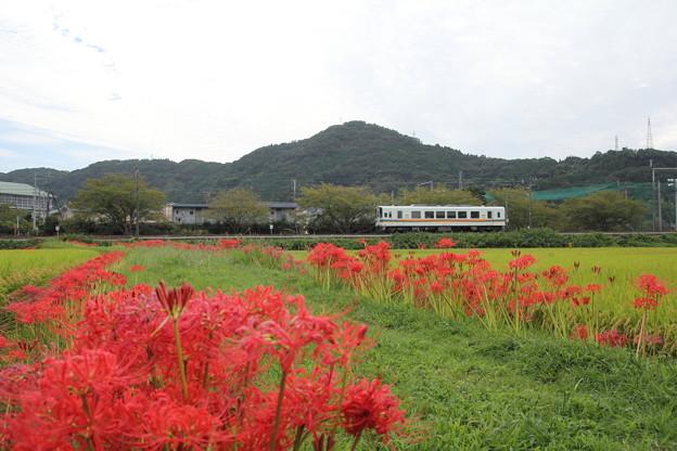 おれんじ鉄道と彼岸花