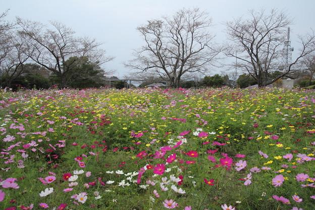 写真: 花びらが増えました