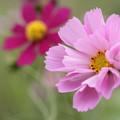 筒状の花びらのコスモス