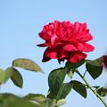 青空のバラ