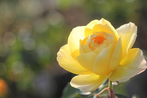 秋の薔薇・・今年はよく咲いてます