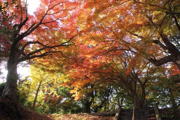 城山の紅葉・・かがやく紅葉