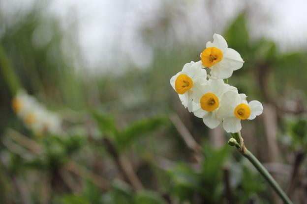 水仙が咲きだす